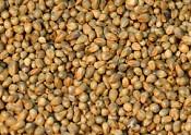 Pearl Millet (Bajra)